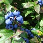Bleuets en compote